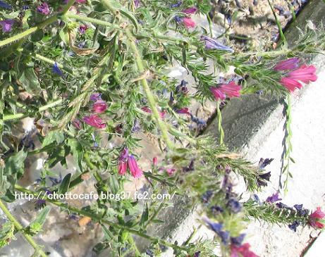 ギリシャの草花3