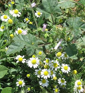 ギリシャの草花4:カモミールですが、正式な学名は調べ中です。