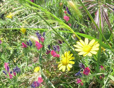 ギリシャの草花5:この黄色い花は、5月1日付け日記に書いているマイアと呼ばれる花です。正式な学名は調べているところです。