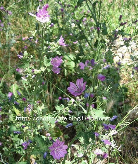ギリシャの草花7:Malva sylvestris(これはイタリアのトスカーナでもよく見かけます。)