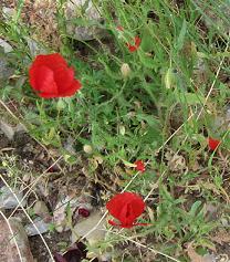 ギリシャの草花8