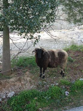 川沿いにたって私を見つめる牡羊。黒い顔に黒いつぶらな瞳です。