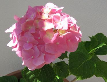 ピンクのあじさいの花