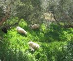 庭から見える羊たち