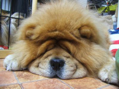 チャウチャウの寝顔