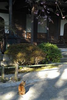 妙本寺の猫