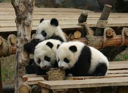 China Panda Out 122705 b