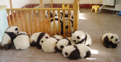 16 Panda Reunion b