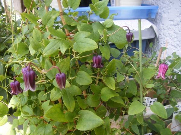 pit赤紫とH20初花