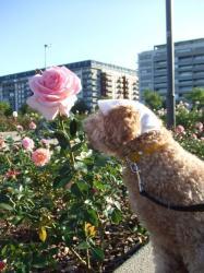 ピンクのバラにもチュ~