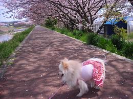広野桜トンネル
