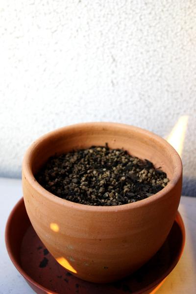 コーヒーの木4週間目_01