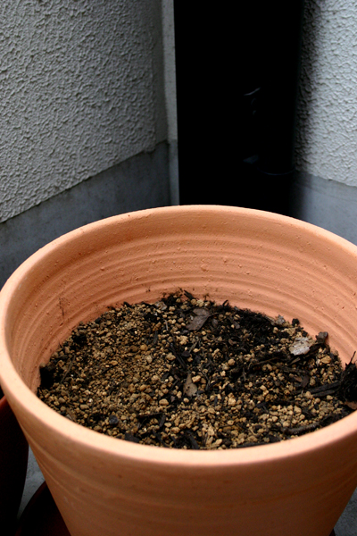 コーヒーの木5週目_2