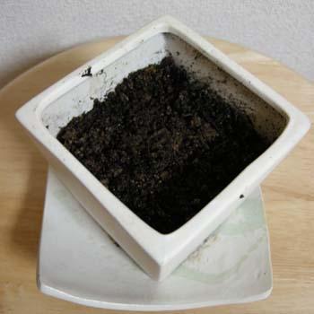コーヒーの樹4週目