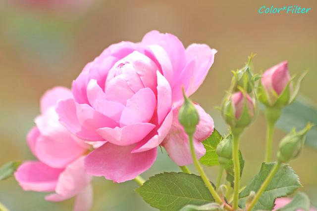 ピンク・ローズ2