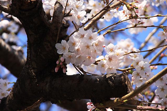 2008初桜3