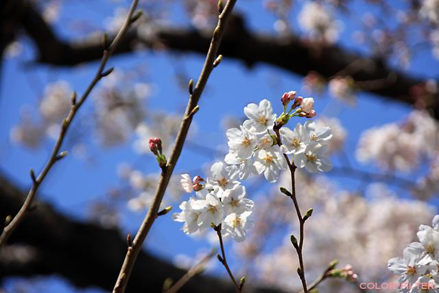 2008初桜