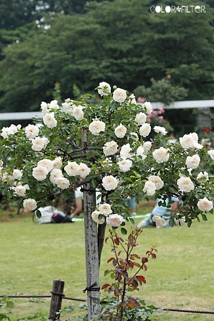 白いバラの木