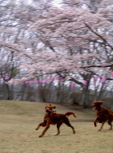 朝桜 005