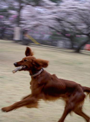 朝桜 008