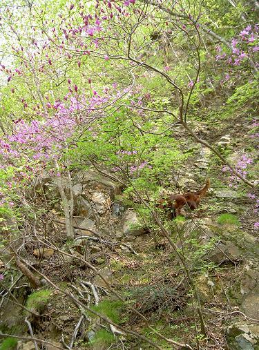 トウゴクミツバツツジと渓谷 023