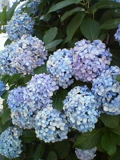きれいだなぁ~紫陽花