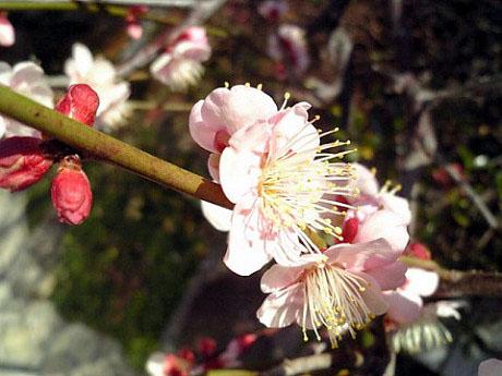 梅の花2-2