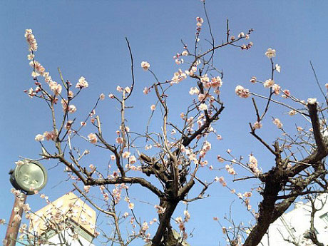 梅の木1-2
