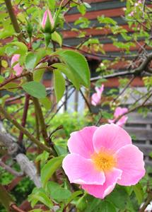早咲きバラ