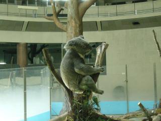 コアラって癒されるよね~。