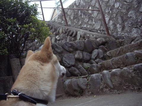 柴犬ズン031910