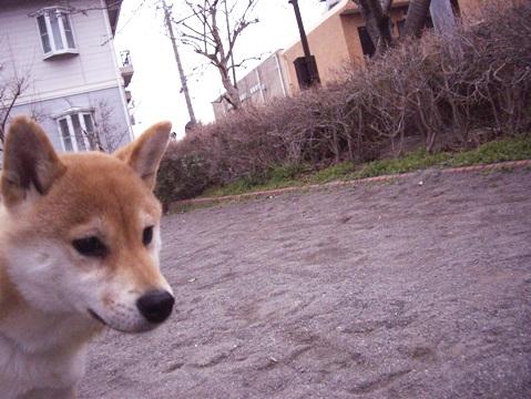 柴犬ズン031901