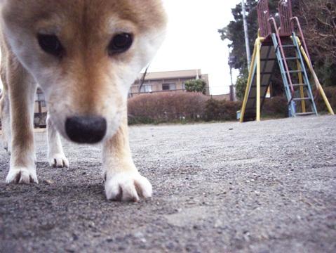 柴犬ズン031906
