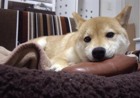 柴犬ズン0320ランキング