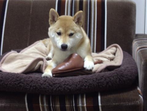 柴犬ズン032006