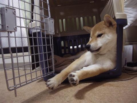 柴犬ズン画像032103