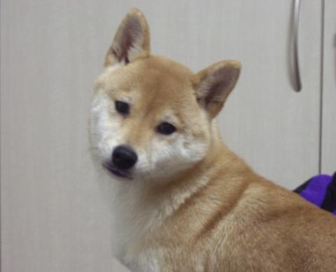 柴犬ズン画像0322ランキング