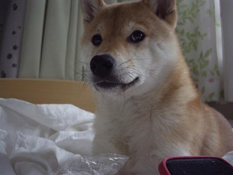 柴犬ズン画像032205