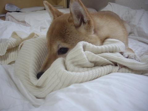 柴犬ズン画像032208