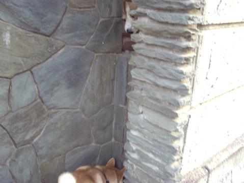 柴犬ズン画像032307