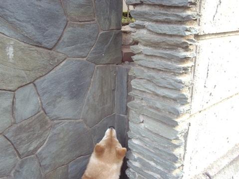 柴犬ズン画像032308