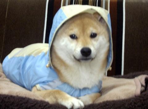 柴犬ズン画像0324ランキング