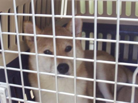 柴犬ズン画像032411