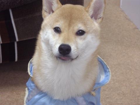 柴犬ズン画像032409