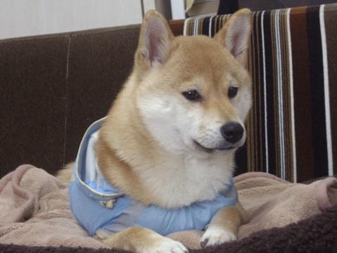 柴犬ズン画像032402