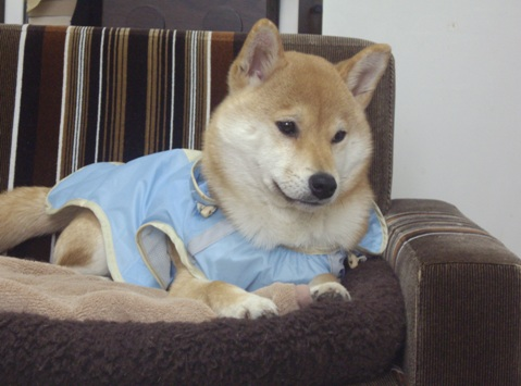 柴犬ズン画像032403