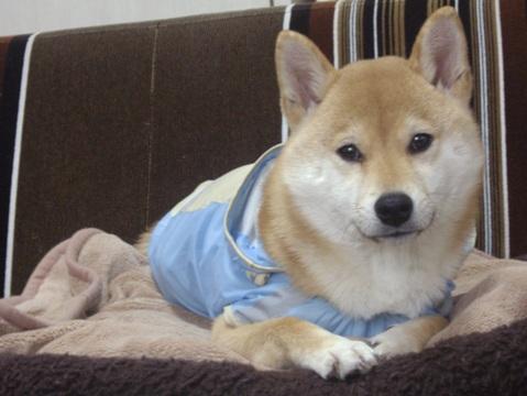 柴犬ズン画像032405