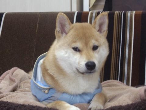 柴犬ズン画像032412