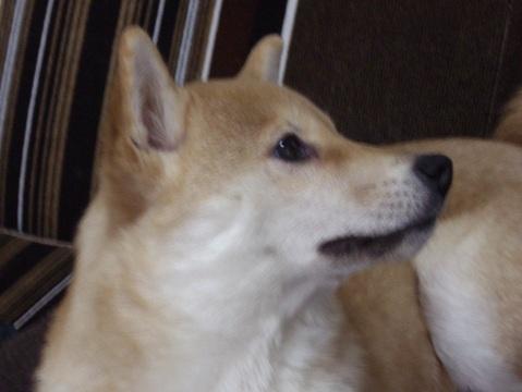 柴犬ズン画像032504