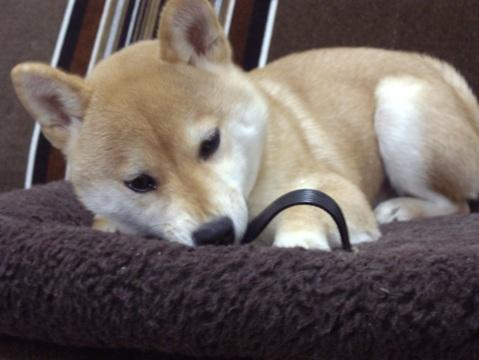 柴犬ズン画像032511